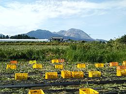 雲仙岳を望む永池さんの畑