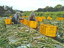 玉ねぎの収穫作業