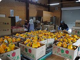 パプリカ選果場の風景